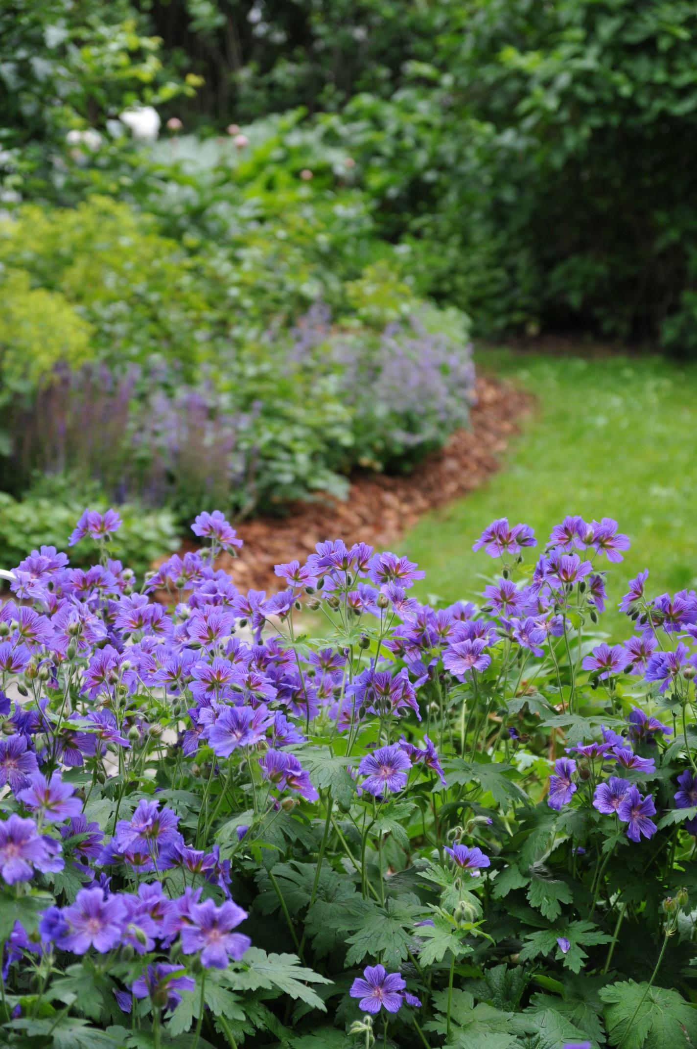 Tarhakurjenpolvi hehkuu puutarhassa