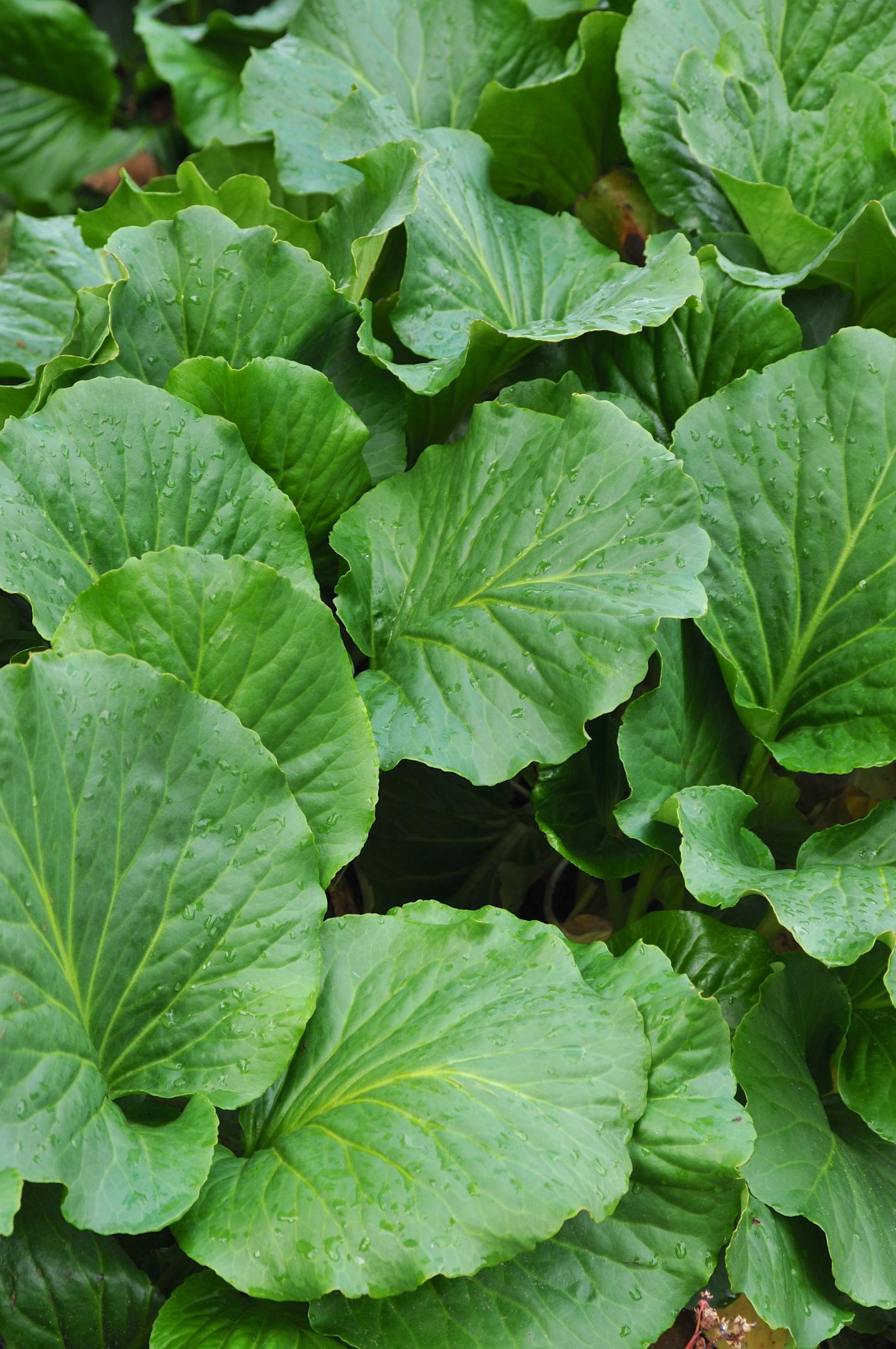Suuret lehdet tuovat puutarhaan vehreyttä ja tekstuuria