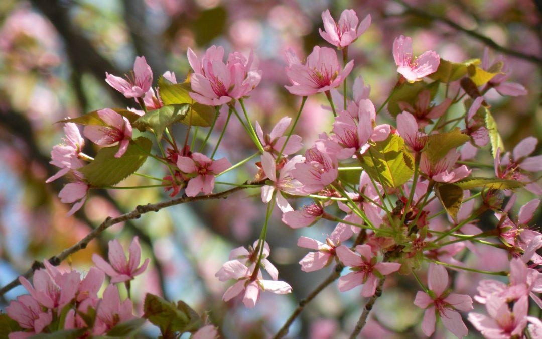 Hyvää Hanamia … nautitaan kirsikoiden kukinnasta!