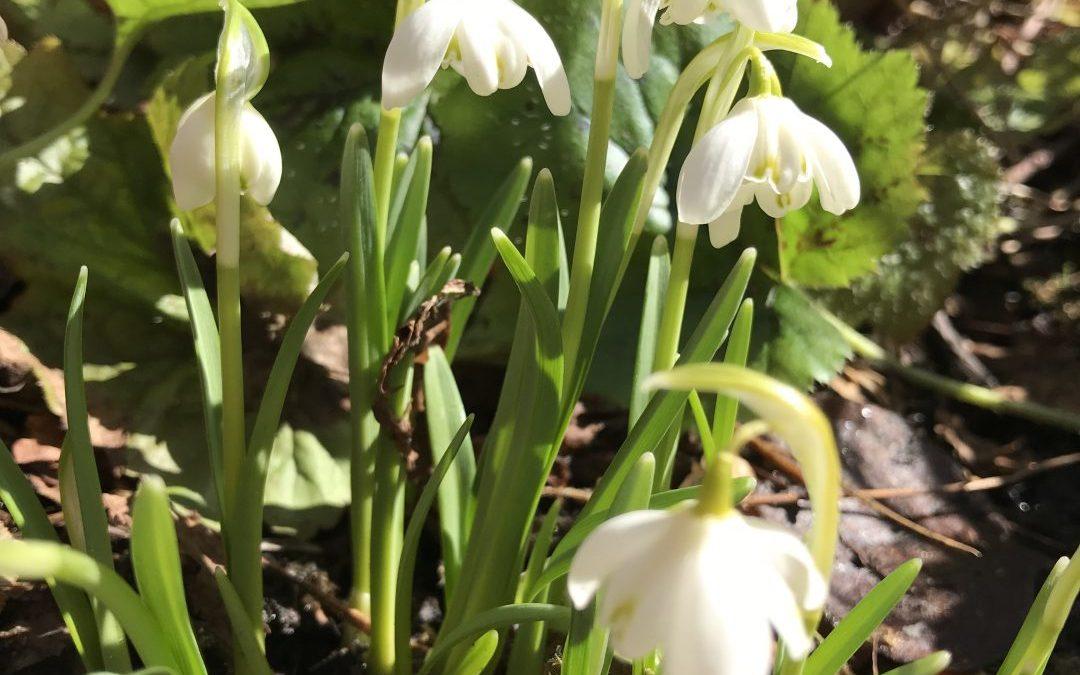 Lumikello – kevään ensimmäinen