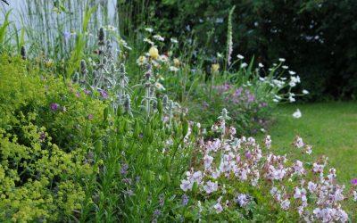 Jättipoimulehti puutarhassa