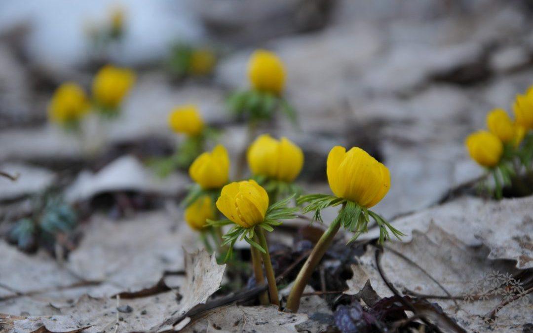 Puutarhan pienet – uudet – kevätkukat, jotka istutin viime syksynä