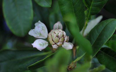 Japaninalppiruusu – alppiruusun kukinta yllätti!