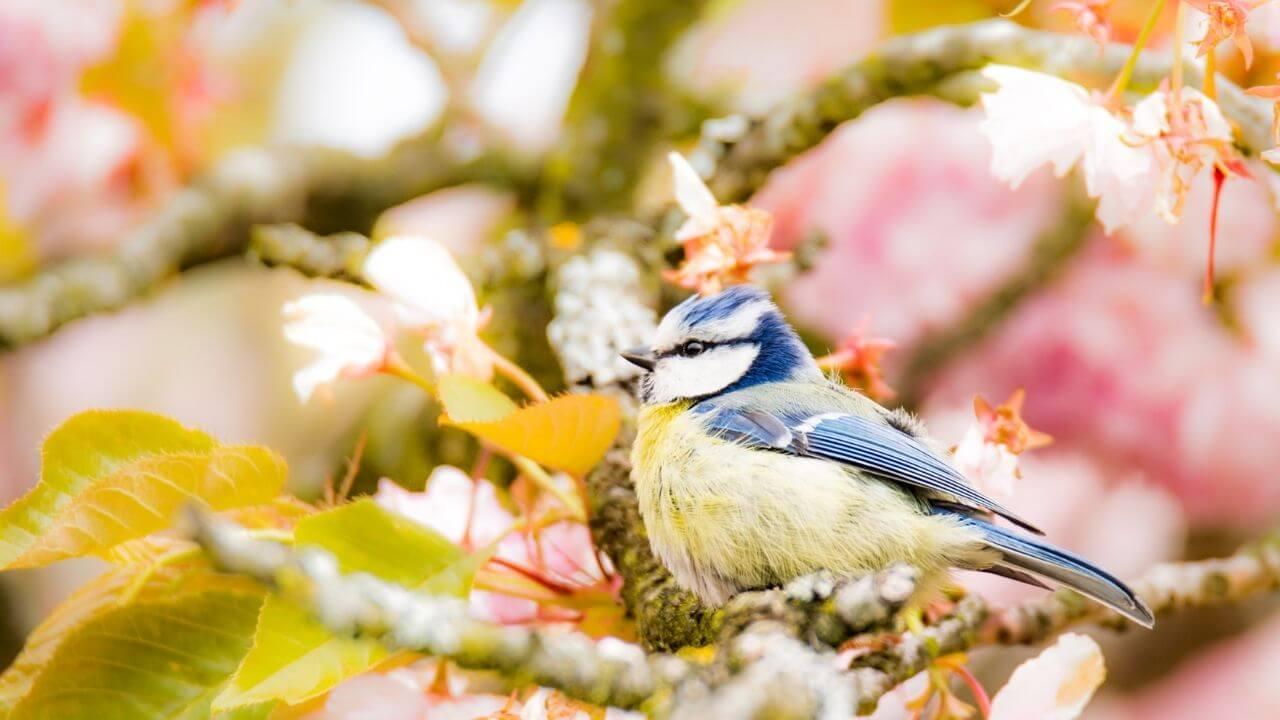 Sinitiainen - linnunlaulu lisää hyvinvointia