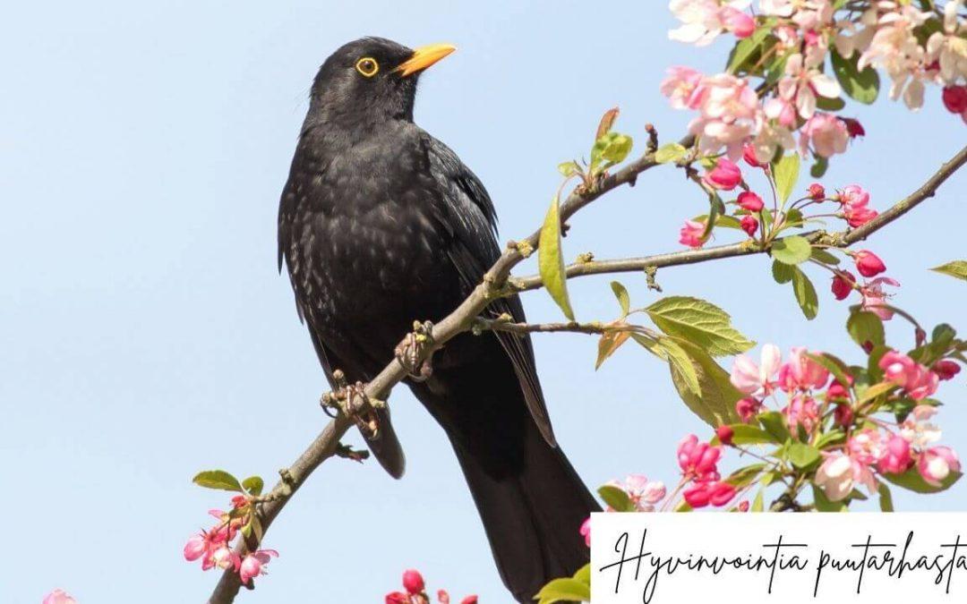 Mustarastas puutarhassa - Linnunlaulu vähentää stressiä