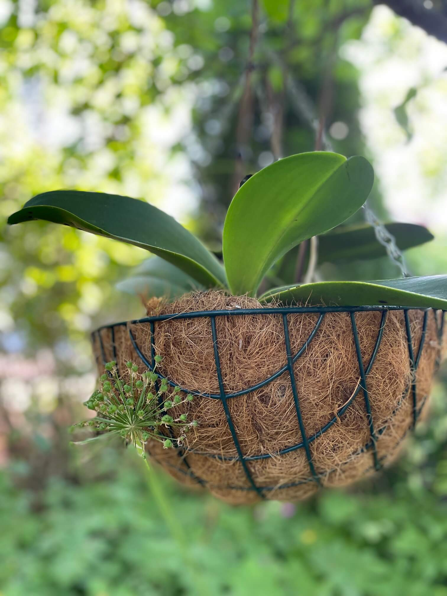 orkideat amppelissa Puksipuu © Sari Lampinen